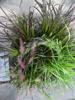 "Purple and green fountain grass braid. Pot is about 20"" tall and 16"" wide, grass is about 24"" tall x 24"" wide."